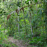 Sentier forestier. Tunda Loma (Calderon, San Lorenzo, Esmeraldas), 30 novembre 2013. Photo : J.-M. Gayman