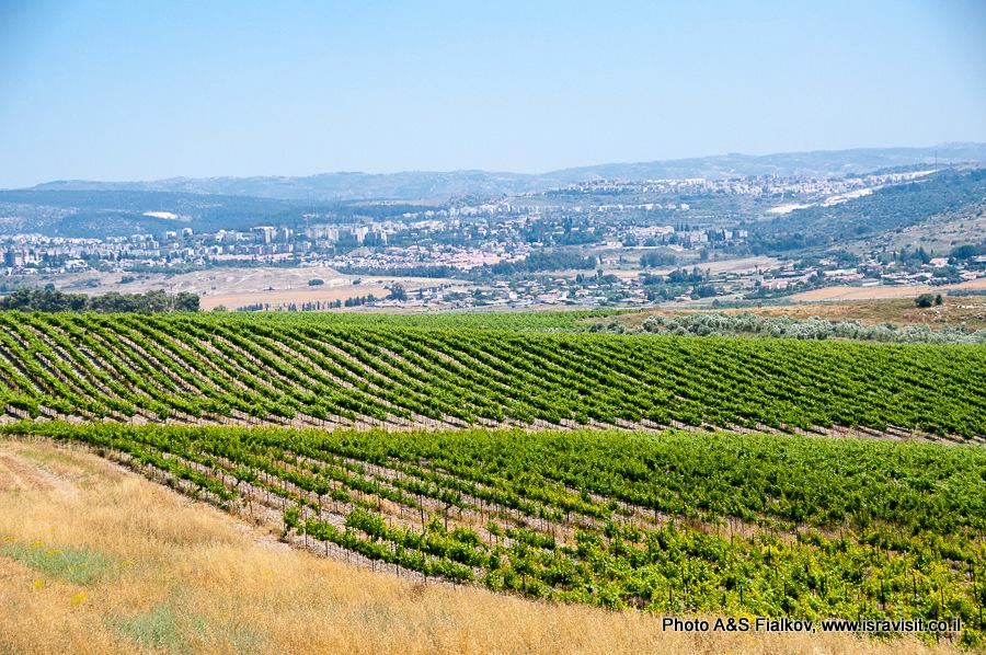 Пейзаж с виноградником. Израиль. Экскурсия Светланы Фиалковой.