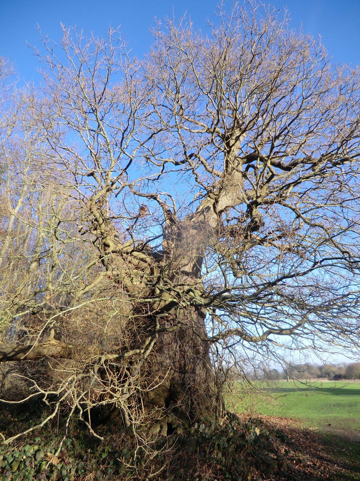 CIMG8375 Veteran oak, Lullingstone Park