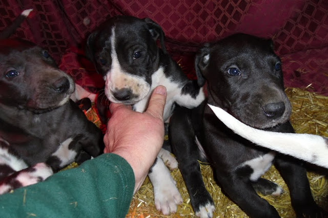 Great dane puppies @ 5 weeks
