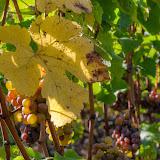 Retour dans les vignes .....