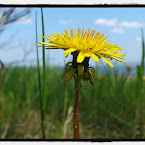 20120521-01-dandelion-at-beach.jpg