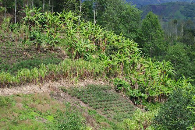 Polyculture vivrière. Cuellaje, 1800 m (Imbabura, Équateur), 10 décembre 2013. Photo : J.-M. Gayman