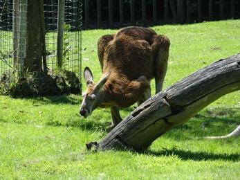 2017.06.17-022 kangourou roux