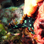 Nudibranch (Gili Biaha, Padangbai, Bali)