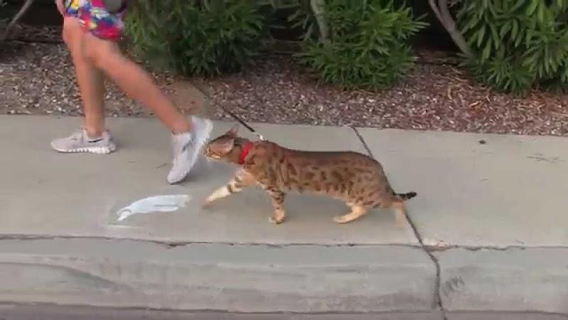 Kucing Jogging