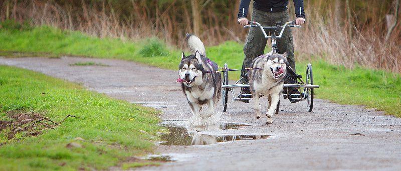 Hướng dẫn cách nuôi chó Alaska. Nuôi chó alaska có khó không?