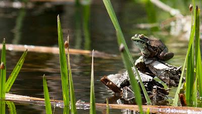 Big frog...