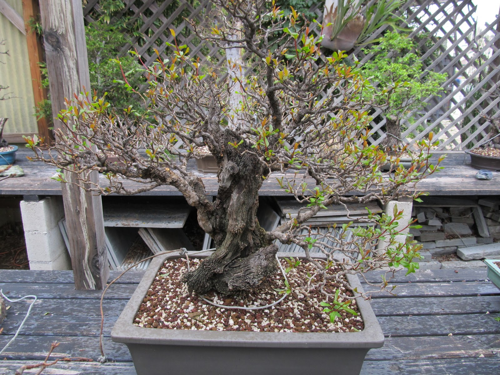 Bonsaibp39s Bonsai Blog Spring At Kimura Bonsai
