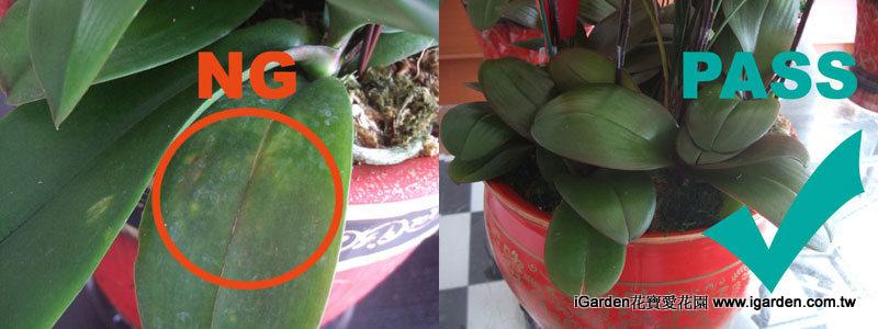 左圖 葉子上有黃褐色斑勿挑選;右圖 選擇葉色健康的植株 | iGarden花寶愛花園