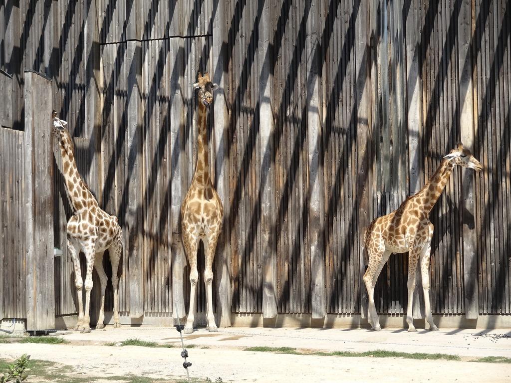 [2018.08.21-007-girafes4]