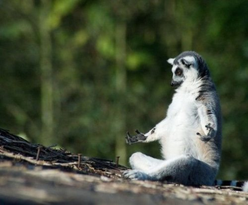Lemur Morning Yoga And Meditation, Yoga And Meditation