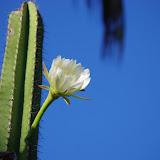 Cactus. Auberge des Orpailleurs (RN2), 4 novembre 2012. Photo : J.-M. Gayman