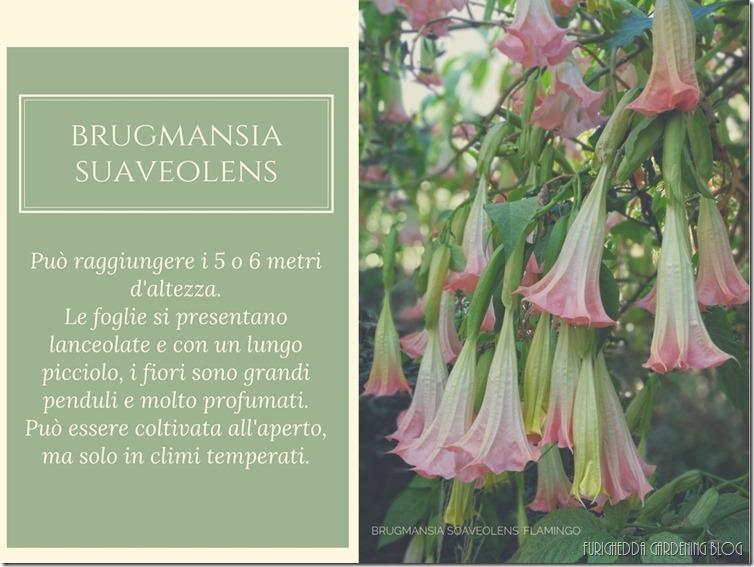 La Brugmansia (2)