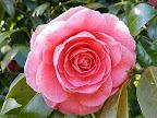 濃桃色 八重 バラ咲き 中〜大輪