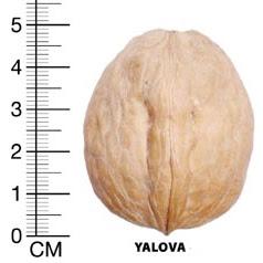 Ялова грецкий орех
