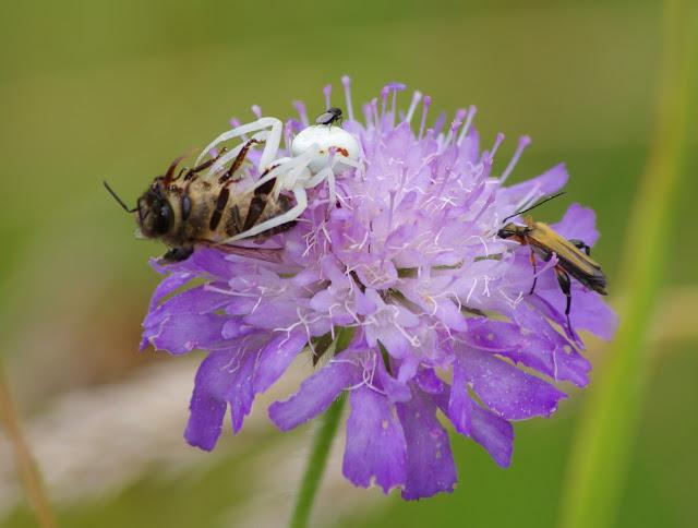 Thomisidae : Misumena vatia (CLERCK, 1757). Les Hautes-Lisières (Rouvres, 28), 5 juillet 2012. Photo : J.-M. Gayman
