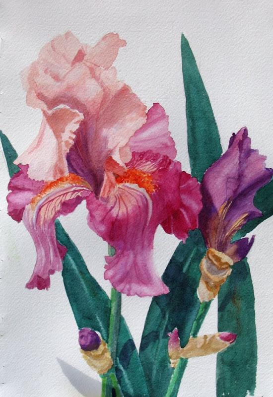 janda - Iris%2Brose%2Bpeach.jpg