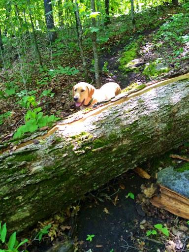 Big maple tree down on singletrack on Bente's Bump singeltrack