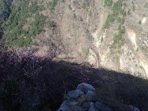 ハライド斜面のアカヤシオ