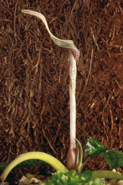 Криптокорина Гудоро (Cryptocoryne hudoroi)