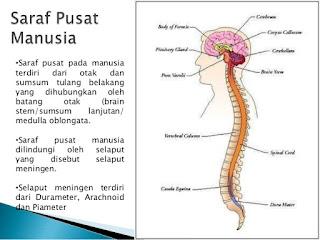 Sistem saraf sangat berperan dalam iritabilitas tubuh Sistem Saraf pada insan | Tiga Fungsi utama sistem saraf