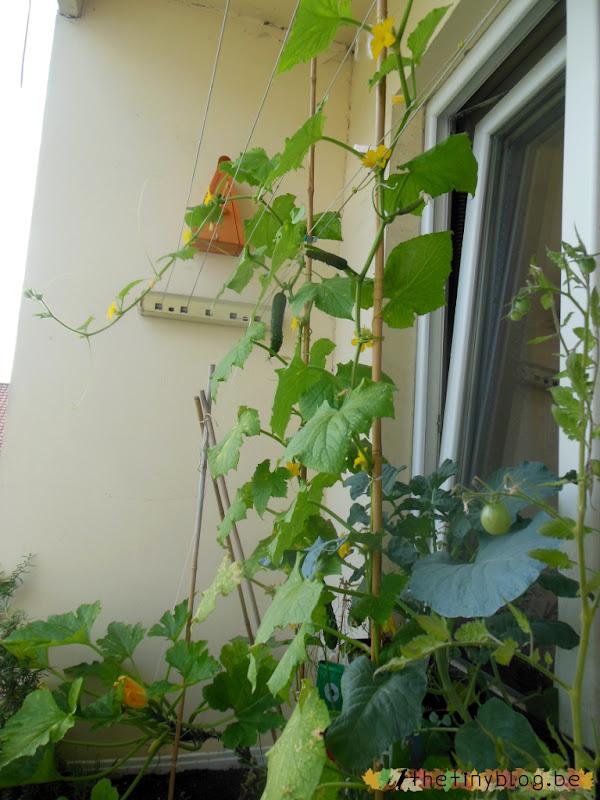 Brussels Balcony Vegetable Garden Organic Cucumber