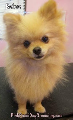 Gri the Pomeranian with long hair before his summer cut