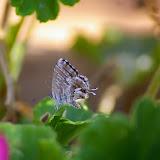 Cacyreus marshalli BUTLER, 1898. Plage de Palombaggia, Corse du Sud, août 2006. Photo : J.-M. Gayman