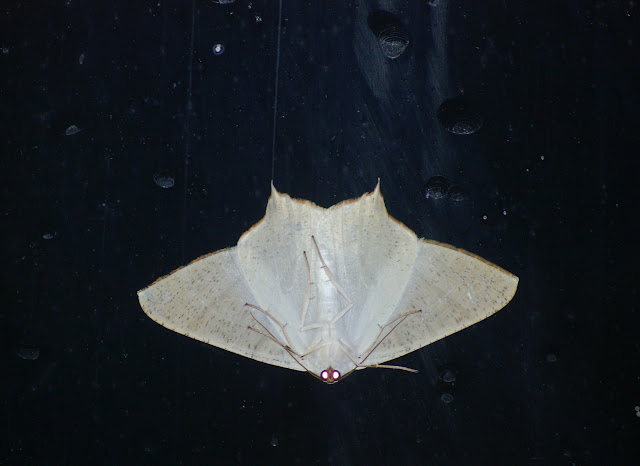 Geometridae : Ennominae : Ourapteryx contronivea INOUE, 1993. Baisha (2500 m, Yunnan), 21 août 2010. Photo : J.-M. Gayman
