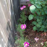 Gardening 2010, Part Two - 101_1925.JPG