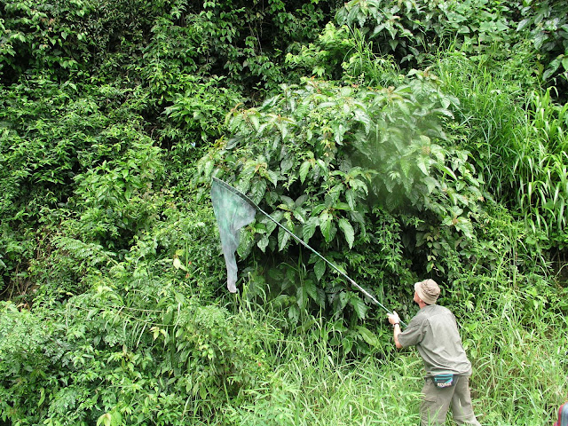 Capture d'un Morpho helenor. Challa (1100 m), au nord de Coroico (Bolivie), 12 janvier 2004. Photo : J. F. Christensen