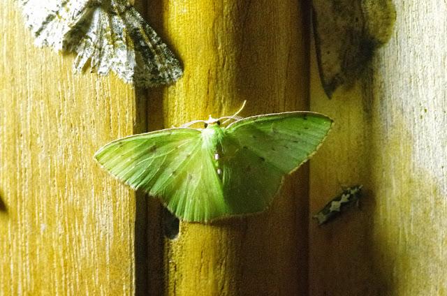 Lissochlora pectinifera (Prout, 1916). Mount Totumas, 1900 m (Chiriquí, Panamá), 20 octobre 2014. Photo : J.-M. Gayman