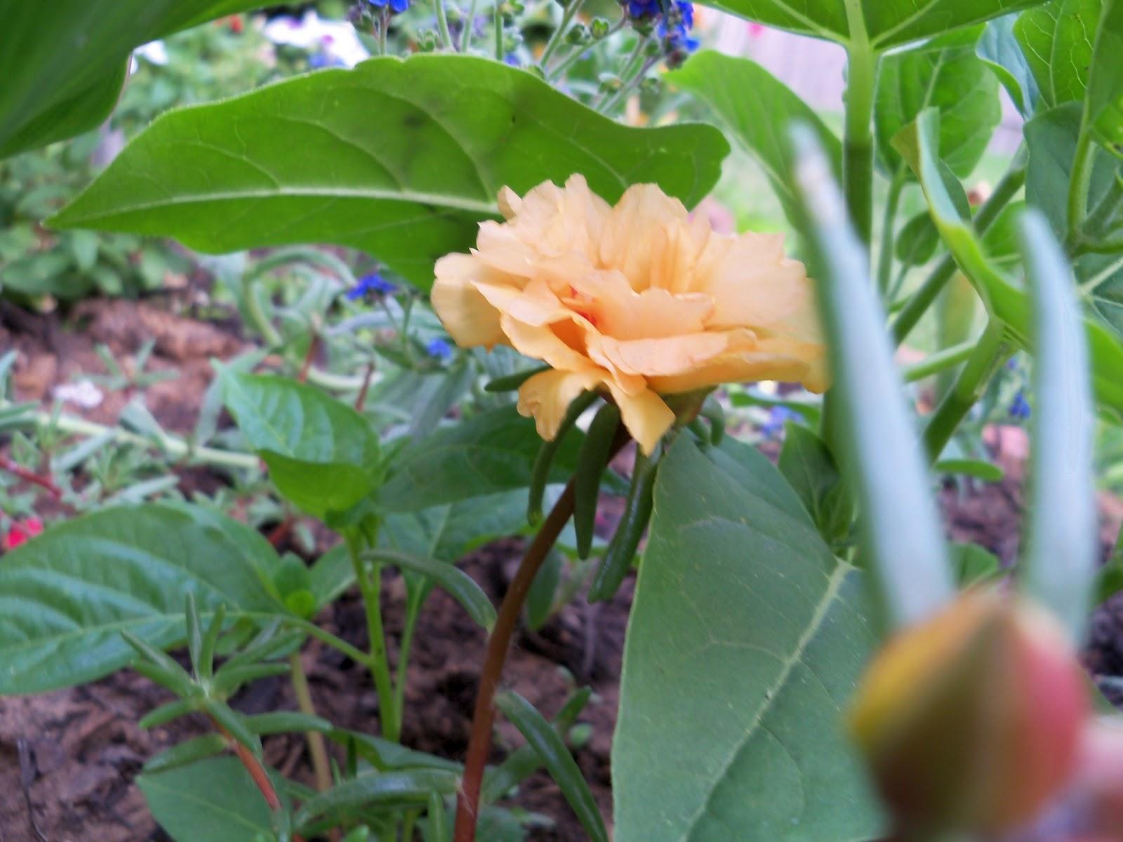 Gardening 2011 - 100_7736.JPG