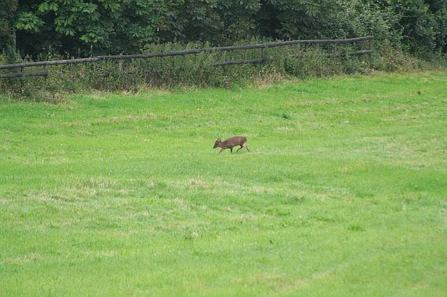 Woodhurst Wildlife Muntjac In The Grassfield - muntjac20.jpg