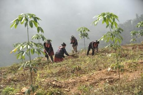 Thống nhất dừng trồng mới khu vực miền núi phía Bắc từ năm 2016 để tập trung chăm sóc vườn cây. Ảnh: Tùng Châu