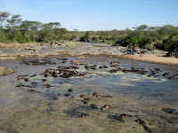 Hundreds of Hippos - Serengeti