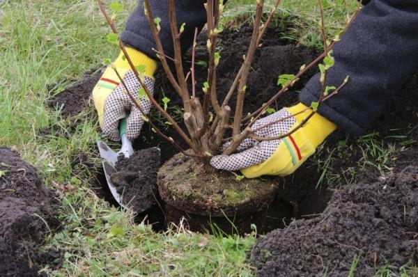 Процесс посадки вишни