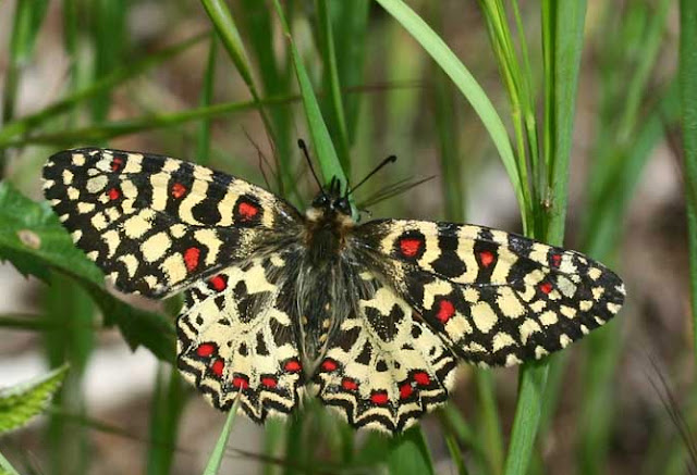 Zerynthia rumina LINNAEUS, 1758, mâle. Photo : E. Sylvestre, 11 mai 2008