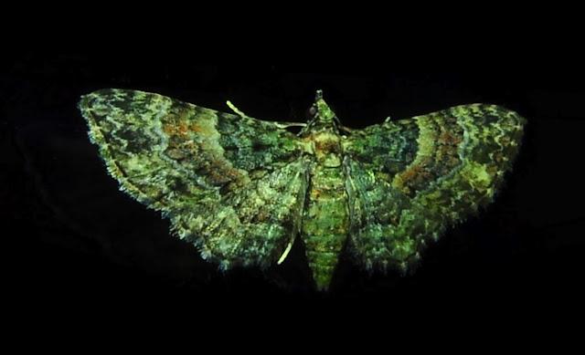 Geometridae : Larentiinae : Xanthorhoini : probablement Epyaxa subidaria GUENÉE, 1857. Umina Beach (N. S. W., Australie), 17 novembre 2011. Photo : Barbara Kedzierski