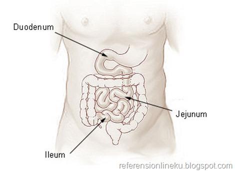 Bagian-bagian usus halus