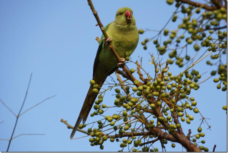 paris 2012 parc montsouris parrots 011713 00001