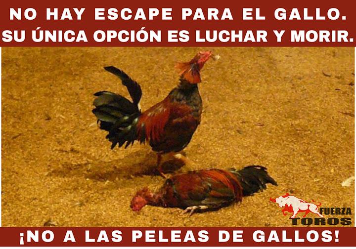 Las peleas de gallos son tan crueles como las corridas de toros y deben abolirse también.