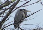 Heron Colony at Libby Hill-024.JPG