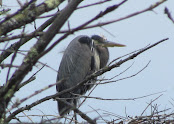 Heron Colony at Libby Hill-024.JPG