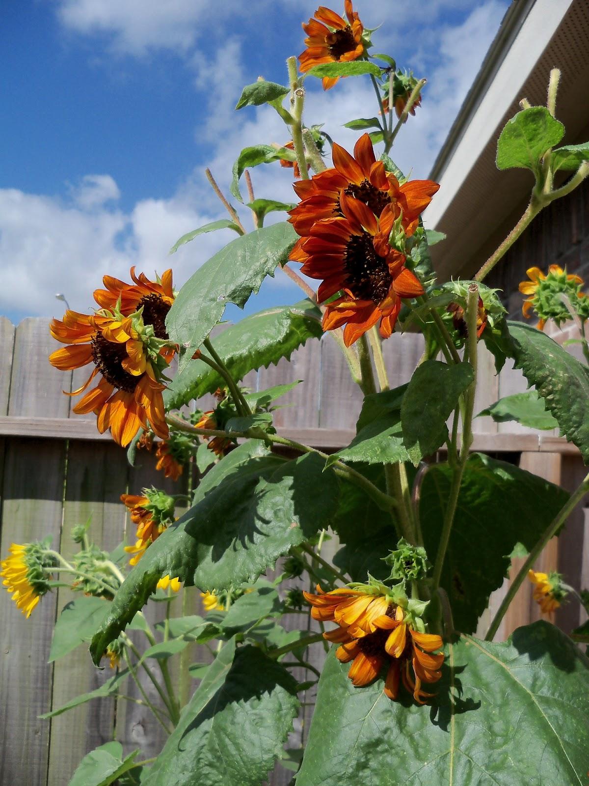 Gardening 2011 - 101_0006.JPG