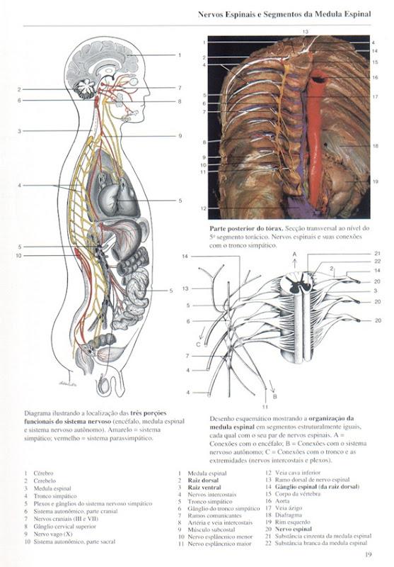 019 Nervos Espinhais e Segmentos da Medula Espinal