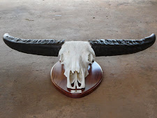 Nice buffalo trophy mounted in a wooden plaque