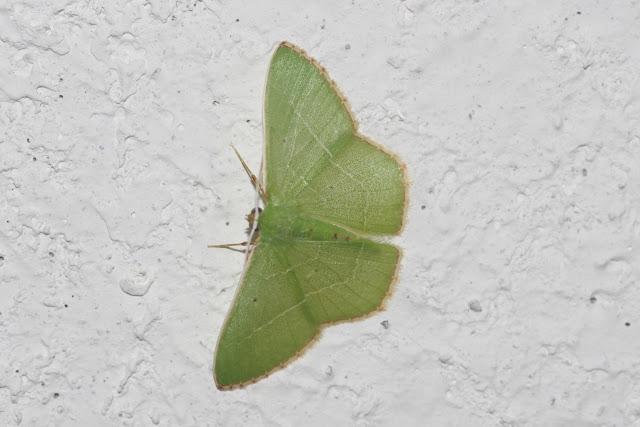 Geometridae : Geometrinae : Phrudocentra pupillata Warren, 1897. Cupiagua, 620 m (Casanare, Colombie), 4 novembre 2015. Photo : J.-M. Gayman