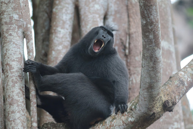 Macaque à crête - Macaca nigra DESMARET, 1822. Pulau Bacan (Moluques, Indonésie), 9 sept 2013. Photo : Eko Harwanto